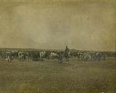 view Cowboy herding cattle digital asset: Cowboy herding cattle