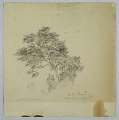 view Indian Tamarind Trees, Jamaica digital asset number 1