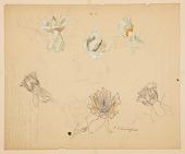 view Studies of Tulip Tree Flowers digital asset number 1