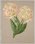 """view Double Tulip Raphaël, Plate 64 from A. C. Van Eeden's """"Flora of Haarlem"""" digital asset number 1"""