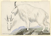 view Rocky Mountain Goat - Bronx Zoo digital asset number 1