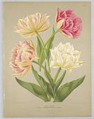 """view Double Tulips, Plate 54 from A. C. Van Eeden's """"Flora of Haarlem"""" digital asset number 1"""