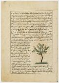 view Folio from <em>Aja'ib al-makhluqat</em> (Wonders of Creation) by al-Qazvini; recto: Apricot Tree (Mishmish); verso: Banana Tree (mawz), Orange Tree (Naranj) digital asset number 1