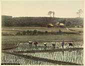 view 500 Rice Plantation, [1860 - ca. 1900]. [graphic] digital asset number 1