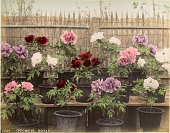 view 1034 (Peonies) Botan [1860 - ca. 1900]. [graphic] digital asset number 1