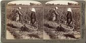 view (8) Peasants cutting millet - looking eastward across field to farmhouses, near Yokohama, Japan, 1904 or earlier. [graphic] digital asset number 1