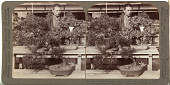 view (27) Dwarf pines and maples nearly 100 years old, treasured in Count Okuma's greenhouse, Tokyo, Japan, 1904 or earlier. [graphic] digital asset number 1