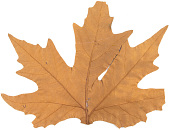 view Collection of Chinar leaves, collected in Srinagar, India, 1973 digital asset number 1