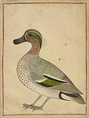 view A Green-winged Teal digital asset number 1