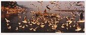 view Delhi Businessman feeding the Seagulls, Jamuna, Delhi digital asset number 1