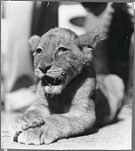 view Turner, Roscoe, Mascot, Gilmore (Lion). [photograph] digital asset number 1