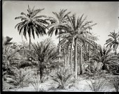 view California-Arabian Standard Oil Co. Saudi Arabia Expedition; Qatif (Saudi Arabia). [photograph] digital asset number 1