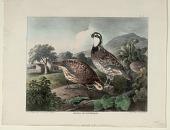 view Quails or Partridges digital asset: Quails or Partridges