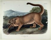 view Feles Concolor, Linn digital asset: The Cougar