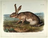 view Lepus Texianus, Aud. & Bach. digital asset: Texan Hare