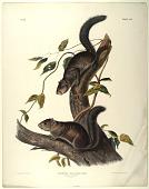 view Sciurus Colliaei, Rich digital asset: Collies Squirrel