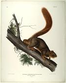 view Sciurus Rubricaudatus. Aud:& Bach: digital asset: Sciurus Rubricaudatus. Aud: & Bach: