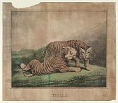 view Tigers digital asset: Tigers