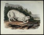 view Canis Lupus, Linn (Var Albus) digital asset: Canis Lupus, Linn (Var Albus)