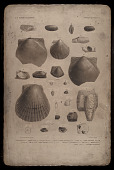 """view Lithographic printing stone """"Australian Fossils, Plate 9"""" digital asset number 1"""