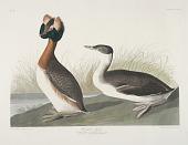 view Horned Grebe digital asset: J. J. Audubon print, Horned Grebe
