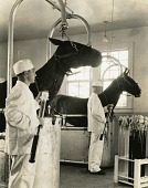 view [Taking blood samples from horses; black-and-white photoprint] digital asset: [Taking blood samples from horses; black-and-white photoprint].