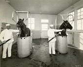 view [Taking blood samples from horses; b & w photoprint] digital asset: [Taking blood samples from horses; b & w photoprint].