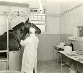 view [Injecting a horse with toxin; b & w photoprint] digital asset: [Injecting a horse with toxin; b & w photoprint].