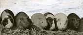 view [Six Guinea pigs; b & w photoprint] digital asset: [Six Guinea pigs; b & w photoprint].