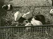 view [Seven guinea pigs in a pen; b & w photoprint.] digital asset: [Seven guinea pigs in a pen; b & w photoprint.]