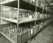 view [Guinea pigs in row of stacked pens; b & w photoprint.] digital asset: [Guinea pigs in row of stacked pens; b & w photoprint.]