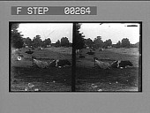 view [Rural scene with cows : stereo photonegative,] digital asset: [Rural scene with cows : stereo photonegative,] 1906.