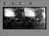 view [Cattle on farm : stereo photonegative,] digital asset: [Cattle on farm : stereo photonegative,] 1906.