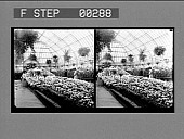 view [View inside greenhouse. Stereo photonegative.] digital asset: [View inside greenhouse. Stereo photonegative.]