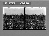 view Cutting the cane on a sugar plantation near New Orleans, La. [Active no. 808. Stereo photonegative.] digital asset: Cutting the cane on a sugar plantation near New Orleans, La. [Active no. 808. Stereo photonegative.]