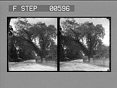 view Historic Washington Elm, near the Common, Cambridge. Active no. 12826 : stereo photonegative digital asset: Historic Washington Elm, near the Common, Cambridge. Active no. 12826 : stereo photonegative.