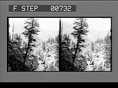 view [Overview of river channel and pine trees.] photonegative digital asset: [Overview of river channel and pine trees.] photonegative 1904.