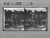 view Ancient method of executing a criminal in Ceylon, prisoner crushed by an elephant's foot. [Caption no. 14332 : stereoscopic photonegative.] digital asset: Ancient method of executing a criminal in Ceylon, prisoner crushed by an elephant's foot. [Caption no. 14332 : stereoscopic photonegative.]