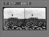 view [Farm field and buildings.] Honolulu / Waipahn [on envelope]. [stereo photonegative.] digital asset: [Farm field and buildings.] Honolulu / Waipahn [on envelope]. [stereo photonegative.]