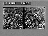 view Children out in the daisy field, nature's bountiful garden. [Active no. 5245 : stereo photonegative] digital asset: Children out in the daisy field, nature's bountiful garden. [Active no. 5245 : stereo photonegative].