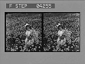 view Picking daisies. [Active no. 5246 : stereo photonegative.] digital asset: Picking daisies. [Active no. 5246 : stereo photonegative.]