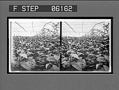 view [Greenhouse.] [Active no. 12952 : stereo interpositive.] digital asset: [Greenhouse.] [Active no. 12952 : stereo interpositive.]