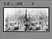 view The cactus room in the Phipps Conservatory, Schenley Park. 13204 interpositive digital asset: The cactus room in the Phipps Conservatory, Schenley Park. 13204 interpositive 1906.