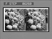 view A bank of huge chrysanthemums, Phipps Conservatory, Schenley Park. 13205 interpositive digital asset: A bank of huge chrysanthemums, Phipps Conservatory, Schenley Park. 13205 interpositive 1906.