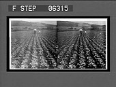 view A five-acre bed of head lettuce ready for the market. 13511 Interpositive digital asset: A five-acre bed of head lettuce ready for the market. 13511 Interpositive.