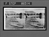 view The perils of photography: our artist, H.G. Ponting, F.R.G.S., photographing alligators at short range on the edge of an Indian lake. Active no. 14034 : stereo photonegative digital asset: The perils of photography: our artist, H.G. Ponting, F.R.G.S., photographing alligators at short range on the edge of an Indian lake. Active no. 14034 : stereo photonegative.
