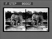 view Ancient method of executing a criminal in Ceylon, prisoner crushed by an elephant's foot. [Caption no. 14332 : stereoscopic interpositive.] digital asset: Ancient method of executing a criminal in Ceylon, prisoner crushed by an elephant's foot. [Caption no. 14332 : stereoscopic interpositive.]