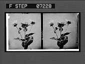 view [Flowers?] Active no. 21065 : stereo interpositive digital asset: [Flowers?] Active no. 21065 : stereo interpositive.