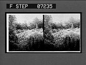 view [Flowers?] 21071 interpositive digital asset: [Flowers?] 21071 interpositive