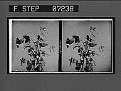 view [Blossoms.] 21074 interpositive digital asset: [Blossoms.] 21074 interpositive.